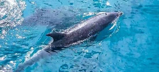 Golfinhos viram atração de turistas em Arraial do Cabo