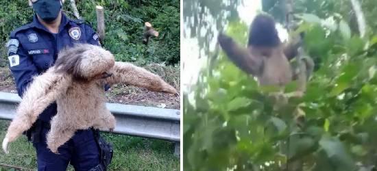 Guardas municipais resgatam bicho-preguiça na BR-101, em Silva Jardim