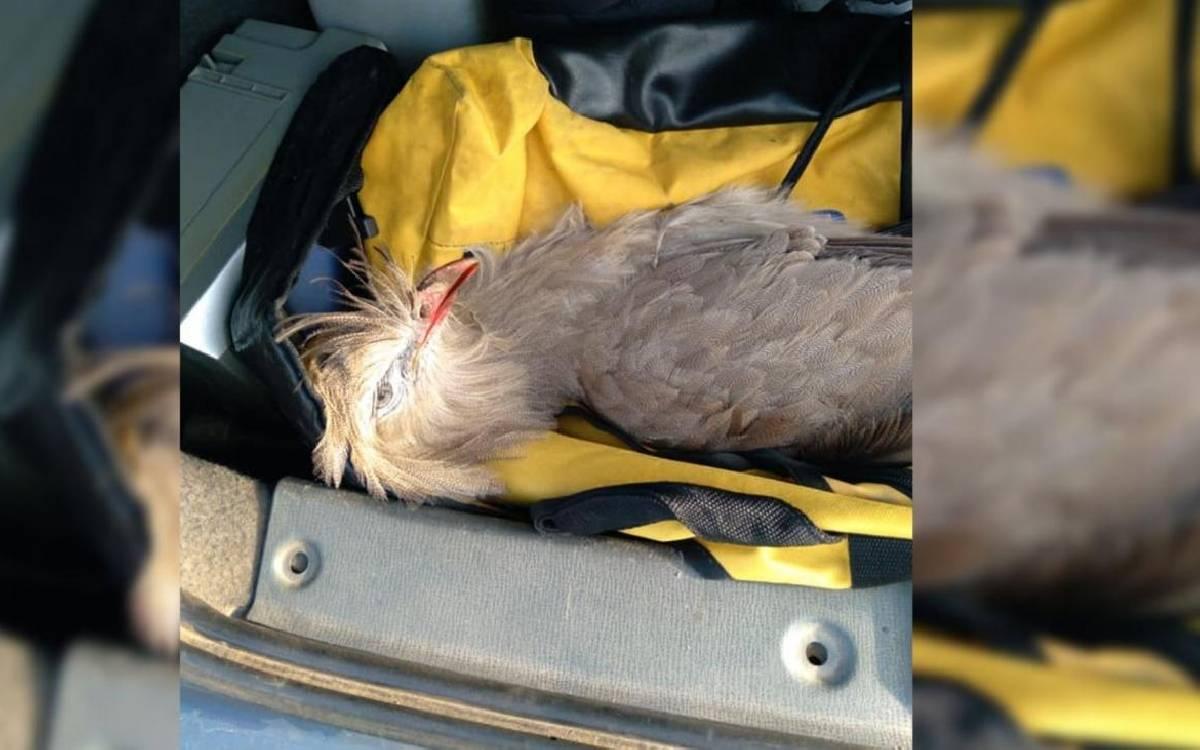 Siriema é resgatada, após ser atropelada na BR-101
